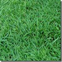 Blue Couch Turf Supplies Queensland A Superior Grass Master